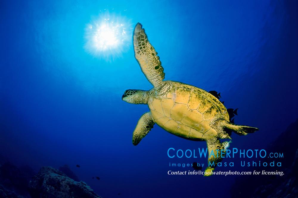 green sea turtle, Chelonia mydas, being cleaned by surgeonfish, Kona, Big Island, Hawaii, Pacific Ocean
