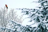 HAARLEM - Een ara in de besneeuwde boomtoppen. Veel mensen stonden vrijdag in de Haarlemse Ramplaan vreemd te kijken toen ze de tropische vogel, afkomstig van een voormalige dierenboerderij in Overveen, in de besneeuwde boomtop zagen zitten. COPYRIGHT KOEN SUYK