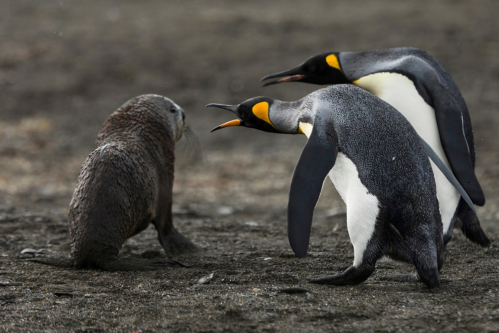 Two king penguins attack a baby antarctic fur seal on Friday, Feb. 2, 2018 in St. Andrew's Bay, South Georgia. (Photo by Ric Tapia)