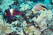 a manybar goatfish, banded goatfish, five-barred goatfish, or moano, Parupeneus multifasciatus, and a blackside hawkfish or freckled hawkfish, Paracirrhites forsteri, wait together for a whitemouth moray eel, Gymnothorax meleagris, to flush small fish out of a coral head, Pawai Bay, North Kona Coast, Hawaii Island ( the Big Island ) Hawaiian Islands, USA ( Central Pacific Ocean )