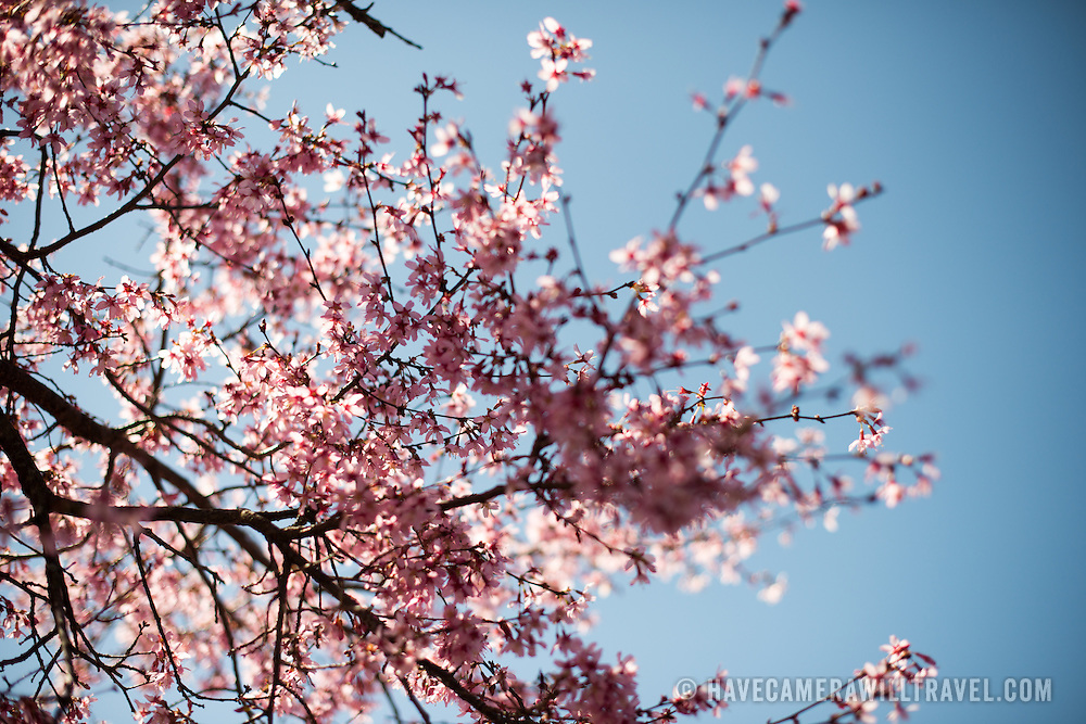 Beautiful spring blossoms of a flowering cherry tree stand out against a clear blue sky in the spring.