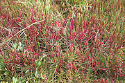Red glasswort samphire plants growing in marshland, Suffolk, England