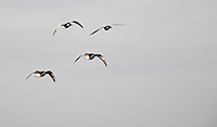 martin mere Shelduck in flight