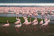Pink flamingos on lake shore at Lake Nakuru National Park, Kenya