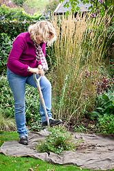 Dividing a geranium in autumn using a spade