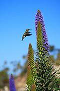 Hummingbird In Laguna Beach