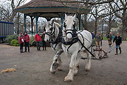 Members of Operation Centaur lead Shire horses Nobby and Heath before they harrow an on-going heritage wheat-growing area in Ruskin Park, a public green space in the borough of Southwark, on 9th February 2018, in London, England. The Friends of Ruskin Park are again growing heritage wheat and crops together with the Friends of Brixton Windmill and Brockwell Bake Association. Shire horses are descended from the medieval warhorse but are a breed under threat. Operation Centaur, which maintains the last working herd of Shires in London is dedicated to the protection and survival of the breed. It is an organization set up to promote the relevance of the horse as a contemporary working animal in partnership with humans. This takes the form of heritage skills in conservation and agriculture, transportation, discovery, learning and therapy.