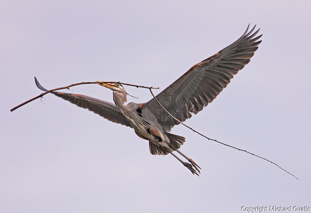 Great Blue Heron flying back to the nest in a Eucalyptus tree showing nest building behavior.  Lake Murray, San Diego, CA.  USA.