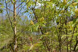 Bergvlier, Sambucus racemosa