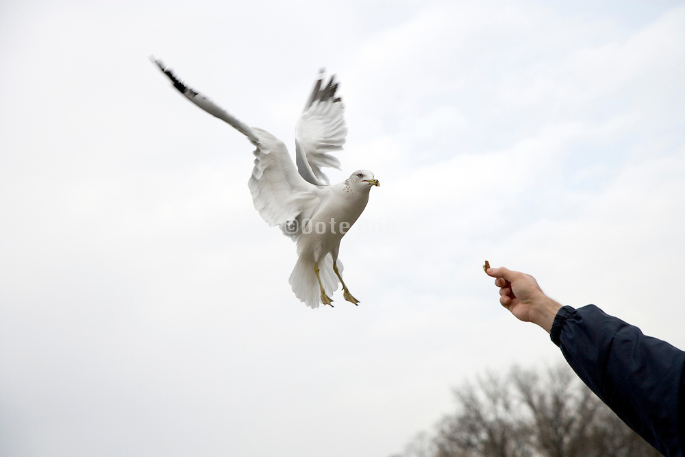 a seagull diving for food held up by hand