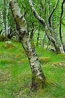 Birch trees, Glen Nevis Scotland