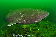 Greenland sleeper shark ( Somniosus microcephalus )<br /> swims over rocks with plumose or frilled anemones ( Metridium senile )<br /> and northern red anemones ( Tealia felina or Urticina felina )<br /> St. Lawrence River estuary, Canada<br /> (this shark was wild & unrestrained; it was not hooked<br /> and tail-roped as in most or all photos from the Arctic)
