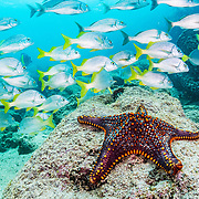 Panamic Cushion Sea Star (Pentaceraster cumingi) and a school of Yellow-tailed Grunt (Anisotremus interruptus) in a typical underwater scene in the Galapagos Island, Ecuador.