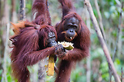 A pair of orangutans (Pongo pymaeus) eating together in a tree, Tanjung Puting National Park, Central Kalimantan, Borneo, Indonesia