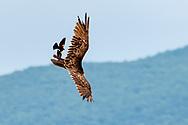 A red-winged blackbird harasses a turkey vulture over farm fields in Goshen,  N.Y., on June 18, 2020.