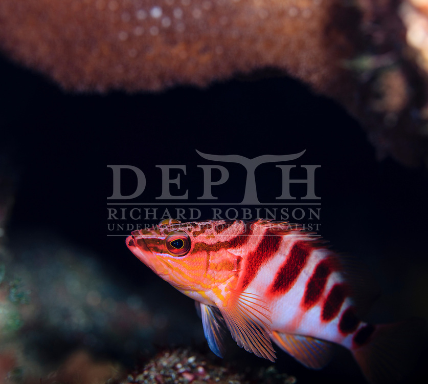 Hypoplectrodes igneus (Kermadec halfbanded perch)<br /> Friday 02 October 2015<br /> Dive Number: 756<br /> Site: Denham Bay, Raoul Island, Kermadec Islands, New Zealand.<br /> Dive Buddy: Steve Hathaway<br /> Boat: Braveheart.<br /> Temperature: 19 degrees <br /> Maximum Depth: 22.9 meters<br /> Bottom Time: 60 minutes<br /> Bottom Time to Date: 42,130 minutes<br /> Cumulative Time: 42,190 minutes