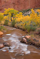 Cottonwood trees along the Fremont River, Capitol Reef National Park Utah