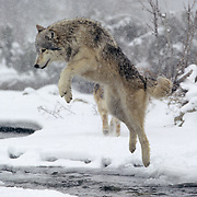 Gray wolf (Canis lupus) jumping across an unfrozen part of a river in the Rocky Mountains of Montana. Captive Animal
