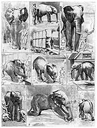 Jumbo the large African elephant sold by London Zoo in 1882 to the American showman Phineas Taylor Barnum (1810-1891) for his circus which became known as the 'Greatest Show on Earth'.  Difficulties being experienced in getting Jumbo to leave his quarters. From 'Le Voleur' (Paris, 1882). Wood engraving.