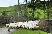 Sheep dog controls flock of sheep in country lane in the Doone Valley on Exmoor in North Devon, UK