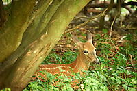 Fawn Hiding in the Woods. Summer Nature in New Jersey. Image taken with a Nikon D700 and 28-300 mm VR lens (ISO 1600, 300 mm, f/5.6, 1/40 sec).
