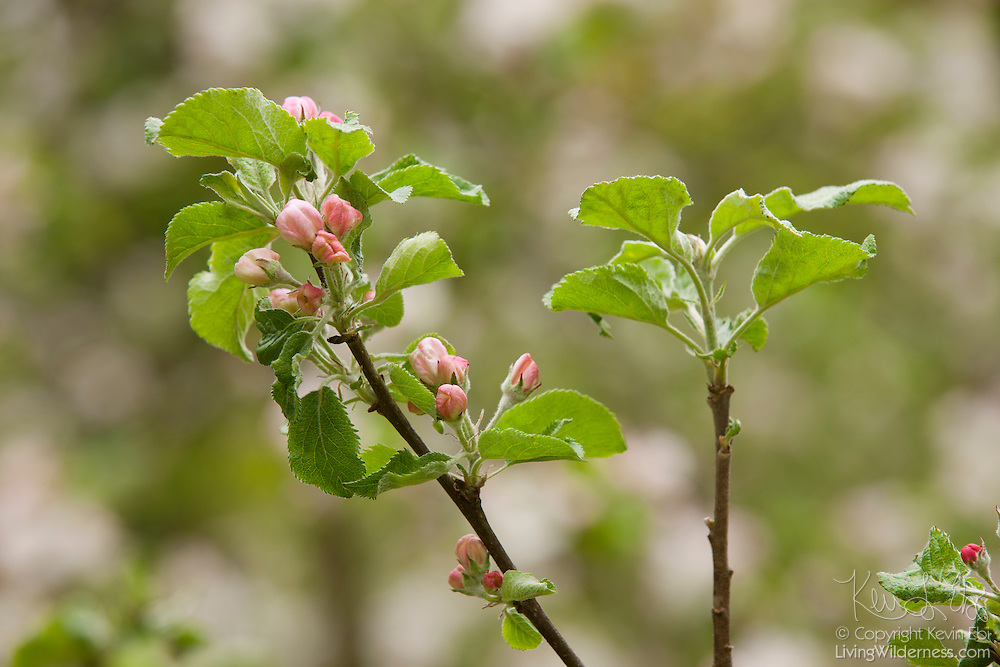 Red and pink blossoms begin to open on the branches of an apple tree in Snohomish County, Washington.