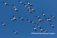 00671-01010 American White Pelicans (Pelecanus erythrorhynchos) group in flight Clinton Co. IL