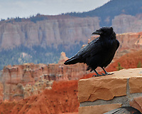 Common Raven (Corvus corax). Bryce Canyon National Park, Nevada. Image taken with a Nikon D200 camera and 80-400 mm lens.