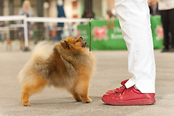 © Licensed to London News Pictures. 16/08/2019. Llanelwedd, Powys, UK. Pomeranians in the judging ring. Hounds and Toy breeds judging takes place on the first day of The Welsh Kennel Club Dog Show, held at the Royal Welsh Showground, Llanelwedd in Powys, Wales, UK. Photo credit: Graham M. Lawrence/LNP