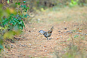 Ruffed Grouse on a two-rut road in Wisconsin