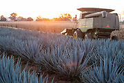 A field of blue agave plants at sunrise growing at a farm owned by the Casa Siete Leguas tequila distillery outside Atotonilco de Alto, Jalisco, Mexico. The Seven Leagues tequila distillery is one of the oldest family owned distilleries and produces handcrafted tequila using traditional methods.