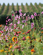 Wildflowers are planted near the grapes at SeVein vineyards to attract parasitic wasps and other beneficial insects that can help protect and cultivate the crop.<br />