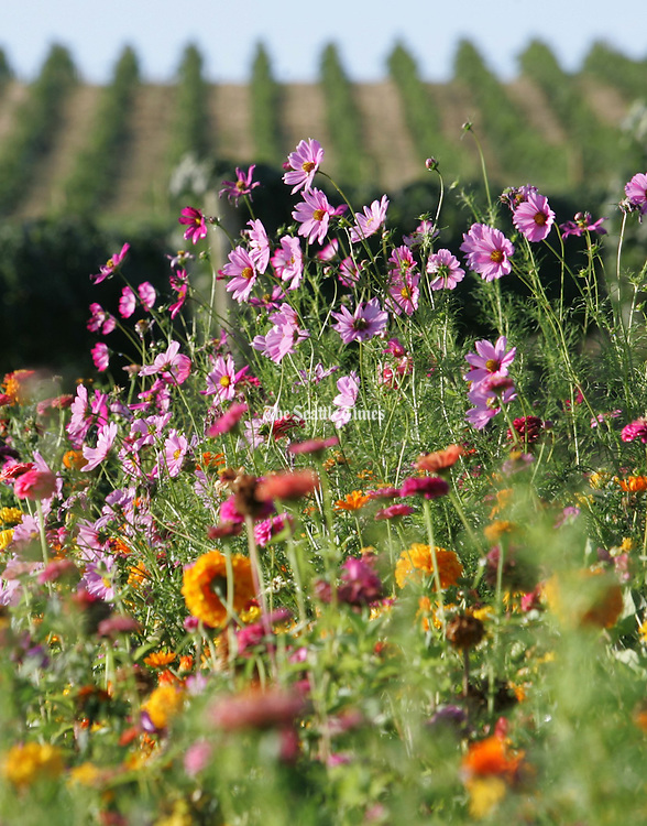 Wildflowers are planted near the grapes at SeVein vineyards to attract parasitic wasps and other beneficial insects that can help protect and cultivate the crop.<br /> Ken Lambert / The Seattle Times
