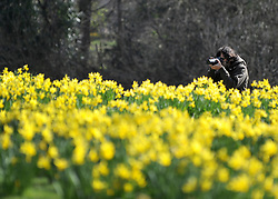 ©London News pictures. 10/03/11. A man photogrpahs the display of daffodils in St James Park today (Mon) People enjoy the early sunshine in London's St James' Park today (Mon). Picture Credit should read Stephen Simpson/LNP