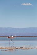 Flamingo at Salar de Atacama in Atacama Desert, Chile