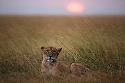 A lioness  (Panthera leo) laying in the rain in tall savannah grass as sunset, Masai Mara, Kenya