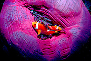 UNDERWATER MARINE LIFE WEST PACIFIC:  FISH: Anemonefish in colorful anemone Amphiprion percula