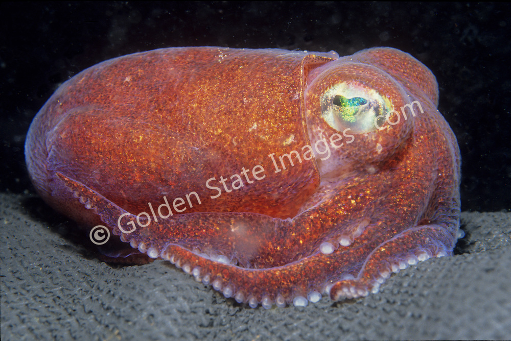 British Columbia<br /> <br /> This cute little squid is normally found on sand and mud bottoms.    <br /> <br /> Species: Rossia pacifica