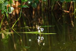 Pijlkruid, Sagittaria sagittifolia