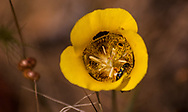 A black and yellow beetle hides inside the petals of a yellow mariposa lily wildflower in a summer meadow, Mendocino County, California