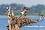 00783-01917 Osprey (Pandion haliaetus) landing at nest Rend Lake Jefferson Co. IL