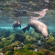 Galapagos sea lions (Zalophus wollebaeki), two, off Isabela Island, Galapagos, Ecuador.