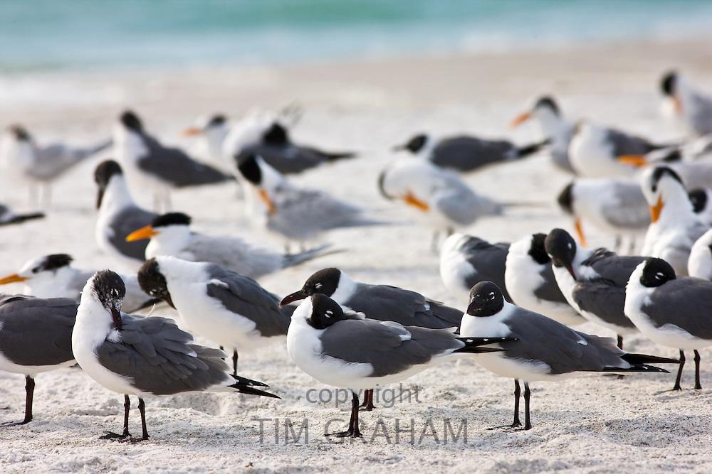 Laughing Gulls, Larus atricilla, and seagulls on shoreline at Anna Maria Island, Florida, USA