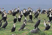 Kenya, lake naivasha, Kenya, White breasted Cormorants Phalacrocorax lucidus