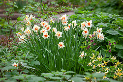 Narcissus 'Mary Copeland' with erythroniums and Geranium phaeum in the woodland garden