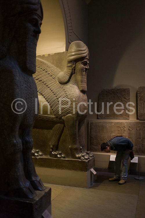 A visitor bends to read the description for a pair of giant Assyrian protective spirits - an Ugallu - or great Lion, preceded by what may be a House God from about 700-692BC from the ancient city of Nineveh, an ancient Mesopotamian city located in modern day Iraq; it is on the eastern bank of the Tigris River, and was the capital of the Neo-Assyrian Empire. It was the largest city in the world for some fifty years[1] until, after a bitter period of civil war in Assyria itself, it was sacked by an unusual coalition of former subject peoples, the Babylonians, Medes, Persians, Chaldeans, Scythians and Cimmerians in 612 BC.