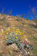 Beavertail Cactus (Opuntia basilaris), Ocotillo (Fonquieria splendens), and Brittlebush (Encelia farinosa) in Coyote Canyon, Anza-Borrego Desert State Park, California