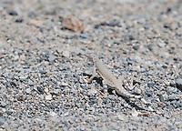 Zebra-tailed lizard, Callisaurus draconoides, in Saline Valley, Death Valley National Park, California
