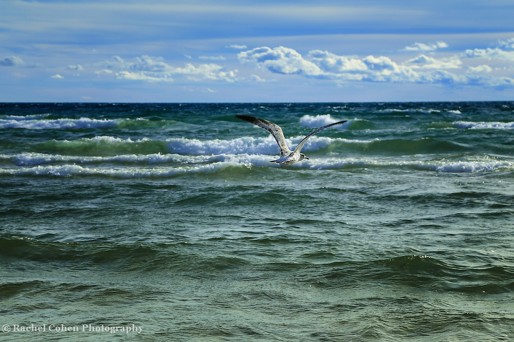 """""""Watcher on the Wind""""<br /> <br />  A Beautiful gull soaring above the strong waves of Lake Michigan!!<br /> <br /> The Great Lakes by Rachel Cohen"""