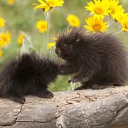 Porcupine (Erethizon dorsatum) babies on a log during spring in Montana. Captive Animal